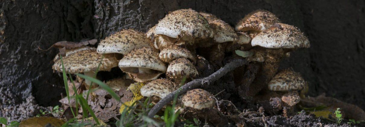 funghi velenosi